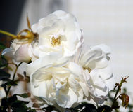 Vita blommande rosor Royaltyfria Foton