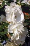 Vita blommande rosor Arkivfoto