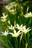 Vita blommor är blommande Royaltyfria Bilder