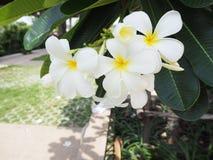 Vita blommor är härliga vita blommor i trädgården, vit f Royaltyfria Bilder