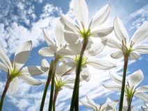 Vita blommor Royaltyfri Fotografi