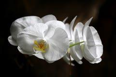 Vita blommor Arkivfoton