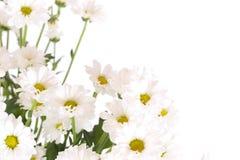 Vita blommor Royaltyfri Foto