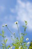 Vita blommor Arkivbilder