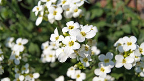 Vita blommor (Arabisalpinacaucasicaen) Royaltyfri Fotografi