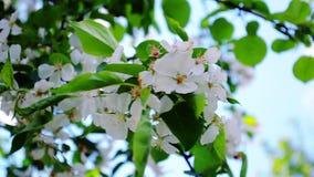 Vita blommor av äppleträd stock video