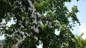 Vita blommor av äppleträd arkivfilmer