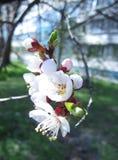 Vita blommor av aprikosn?rbilden arkivfoton