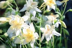 Vita blommor av aquilegiaen Arkivbilder