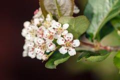 Vita blommor av aroniaen Arkivfoton