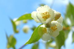 Vita blommor av att blomma k?rsb?r- eller ?ppletr?det med vattendroppar royaltyfria bilder