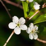 Vita blommor av att blomstra trädet Royaltyfria Bilder