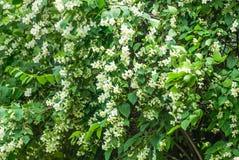 Vita blommor av busken för falsk apelsin arkivbild