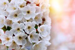 Vita blommor av de körsbärsröda blomningarna Royaltyfri Fotografi