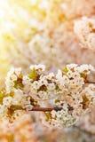 Vita blommor av de körsbärsröda blomningarna Royaltyfri Bild