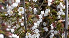 Vita blommor av dekorativa körsbär arkivfilmer