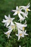 Vita blommor av den Madonna liljan (den candidum liliumen) Arkivfoto