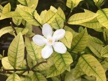 Vita blommor av den Murraya paniculataen portocal Jasminul, Murraya e arkivbild