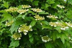 Vita blommor av den röda viburnumen på en buske med gröna sidor i trädgården arkivbild
