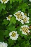 Vita blommor av den röda viburnumen på en buske med gröna sidor i trädgården royaltyfria bilder