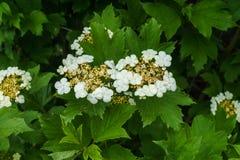 Vita blommor av den röda viburnumen på en buske med gröna sidor i trädgården arkivfoto