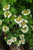 Vita blommor av den röda viburnumen på en buske med gröna sidor i trädgården royaltyfri fotografi