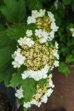 Vita blommor av den röda viburnumen på en buske med gröna sidor i trädgården arkivbilder