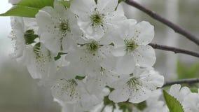 Vita blommor av den söta körsbäret stock video