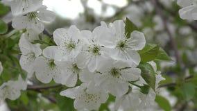 Vita blommor av den söta körsbäret lager videofilmer