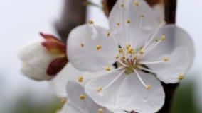 Vita blommor av den söta körsbäret på våren N?rbild lager videofilmer