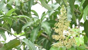 Vita blommor av det indica mangoträdet eller mangiferaen den gungning i vinden och de lilla krypen lager videofilmer