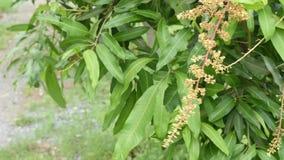 Vita blommor av det indica mangoträdet eller mangiferaen den gungning i vinden och de lilla krypen stock video