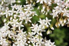 Vita blommor av det Sedum album (den vita fetknoppen) Royaltyfri Bild