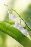 Vita blommor av en skogliljekonvalj Arkivbild