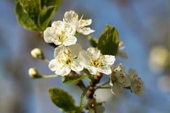 Vita blommor av ett äppleträd Arkivfoton