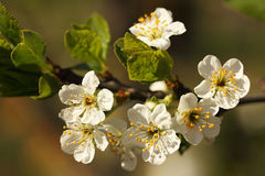 Vita blommor av ett äppleträd Royaltyfri Foto