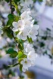 Vita blommor av ettträd och en gräsplanlövverk Arkivfoto
