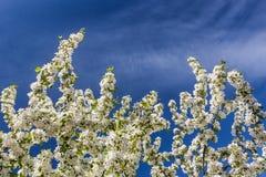 Vita blommor av ettträd och vårsidor på backgrouen Arkivfoto