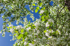 Vita blommor av ettträd och vårsidor på backgrouen Arkivfoton