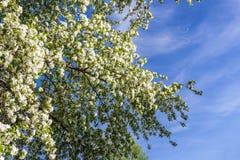 Vita blommor av ettträd och vårsidor på backgrouen Arkivbild