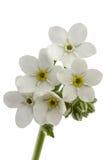Vita blommor av förgätmigejen & x28; Myosotisarvensis& x29; , isolerat på Fotografering för Bildbyråer