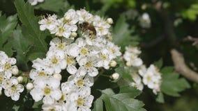 Vita blommor av hagtorn svänger i vinden stock video