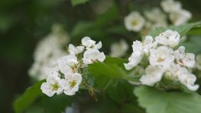 Vita blommor av hagtorn svänger i vinden lager videofilmer
