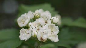 Vita blommor av hagtorn svänger i vinden arkivfilmer