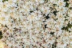 Vita blommor av iberisen royaltyfri foto