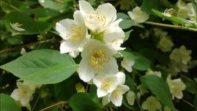 Vita blommor av jasmin i parkera lager videofilmer