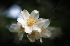 Vita blommor av jasmin (Philadelphus) arkivfoto