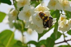 Vita blommor av jasminnärbilden med krypbålgetingen Royaltyfri Bild