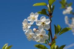 Vita blommor av körsbäret Arkivfoto