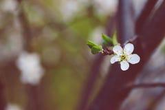 Vita blommor av körsbäret på en försiktig bakgrund i skogen royaltyfri fotografi